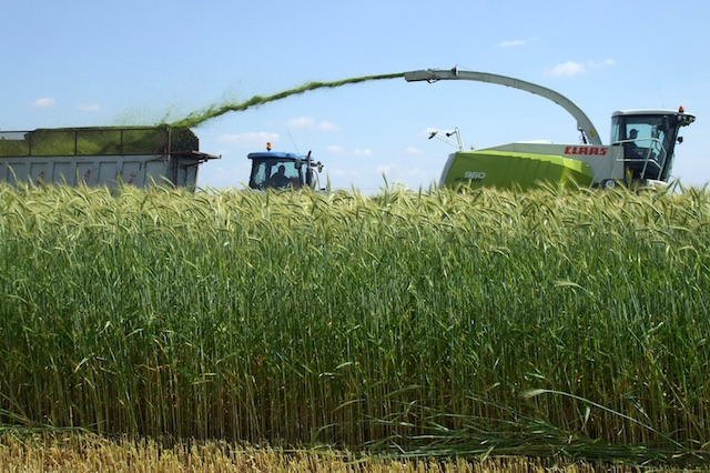 triticale genux rough and resistant high grain producing capacity
